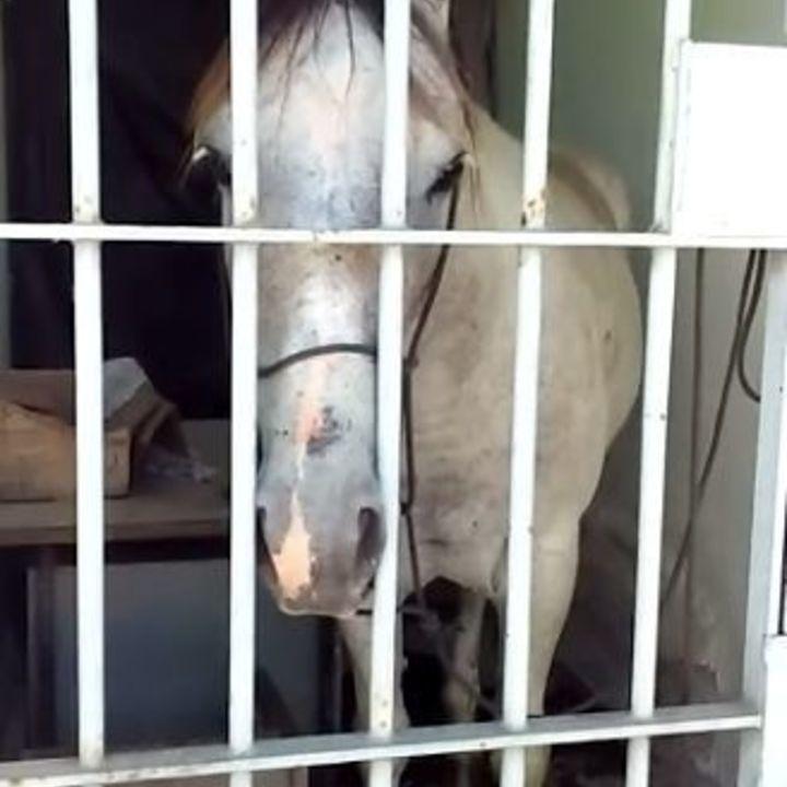 Cavalo é 'preso' após dar coice e passa a noite em delegacia