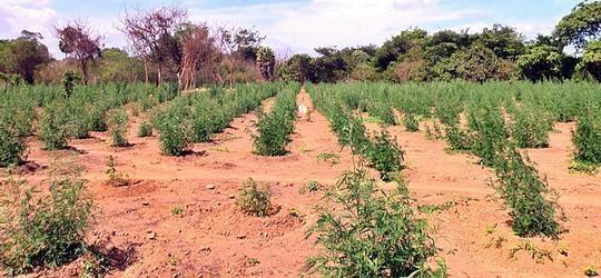 PM encontra plantação de maconha no município de Ilha Grande do Piauí