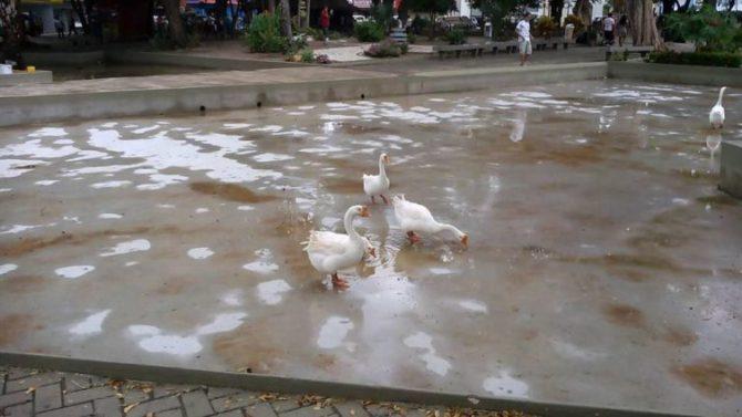 A fama curta dos gansos