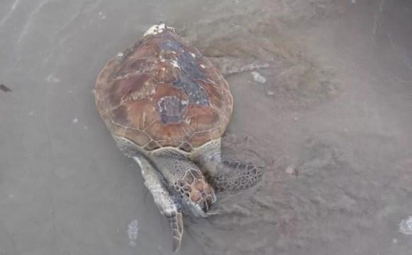 Tartarugas são encontradas mortas em praia de Luís Correia