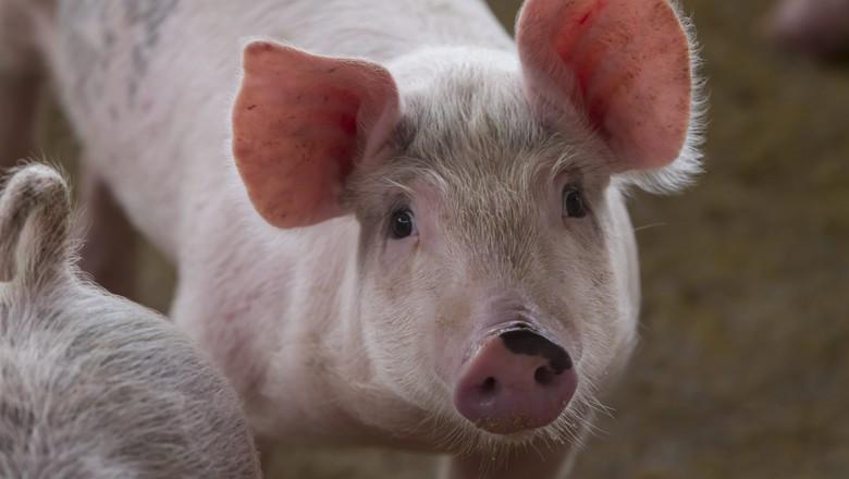 ALERTA! Adapi descarta contaminação em humanos após proibir suínos do CE