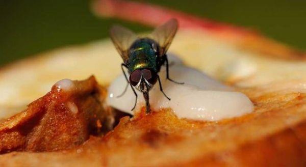 Período chuvoso favorece o aumento de casos de virose da mosca